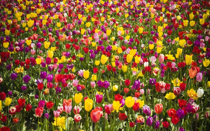 colourful-tulips-field.jpg