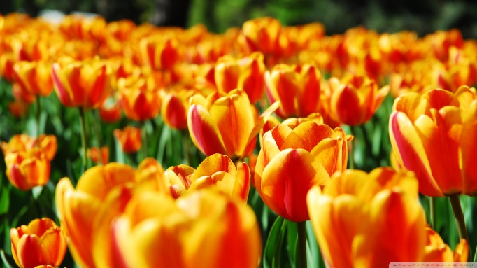 tulips-6_00451108.jpg
